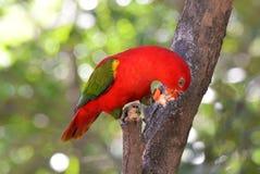 Κατανάλωση πουλιών Lory Στοκ φωτογραφία με δικαίωμα ελεύθερης χρήσης