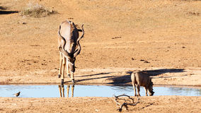 Κατανάλωση στη σιωπή - μεγαλύτερα strepsiceros Kudu - Tragelaphus Στοκ Εικόνες