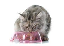 Κατανάλωση της γάτας του Maine coon στοκ φωτογραφία με δικαίωμα ελεύθερης χρήσης