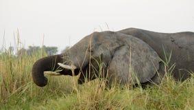 κατανάλωση της χλόης ελεφάντων Στοκ φωτογραφία με δικαίωμα ελεύθερης χρήσης