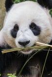 Κατανάλωση της Panda Στοκ Φωτογραφίες