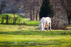 Κατανάλωση του άσπρου αλόγου Στοκ Φωτογραφίες