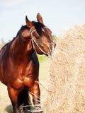 Κατανάλωση του αλόγου κόλπων σανού από τη θυμωνιά χόρτου στον τομέα Στοκ εικόνες με δικαίωμα ελεύθερης χρήσης