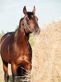 Κατανάλωση του αλόγου κόλπων σανού από τη θυμωνιά χόρτου στον τομέα Στοκ φωτογραφίες με δικαίωμα ελεύθερης χρήσης