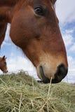 κατανάλωση του αλόγου &sigm Στοκ Εικόνα