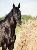 Κατανάλωση του μαύρου αλόγου σανού από τη θυμωνιά χόρτου στον τομέα Στοκ Εικόνα