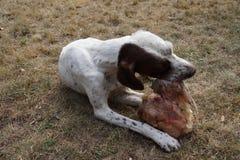Κατανάλωση του σκυλιού κυνηγιού στον κήπο μου Στοκ εικόνα με δικαίωμα ελεύθερης χρήσης