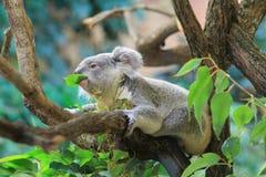 Κατανάλωση του koala Στοκ εικόνα με δικαίωμα ελεύθερης χρήσης