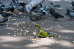 Κατανάλωση των περιστεριών και του παπαγάλου στοκ φωτογραφίες με δικαίωμα ελεύθερης χρήσης