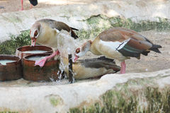 Κατανάλωση χήνων στον αιγυπτιακό ζωολογικό κήπο Στοκ Φωτογραφίες