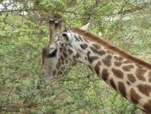 κατανάλωση giraffe των φύλλων Στοκ Φωτογραφίες