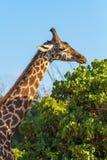 κατανάλωση giraffe των φύλλων Στοκ Εικόνες