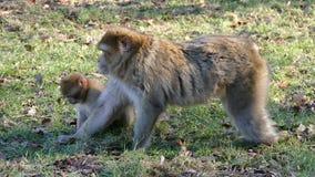 Κατανάλωση Macaque απόθεμα βίντεο