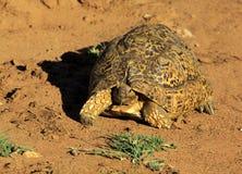Κατανάλωση Tortoise στοκ φωτογραφίες