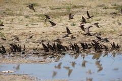 Καταπίνει να πάρει τη λάσπη για τις φωλιές τους στοκ εικόνα με δικαίωμα ελεύθερης χρήσης