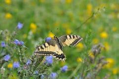 Καταπιείτε την πεταλούδα ουρών με το σπασμένο φτερό Στοκ φωτογραφίες με δικαίωμα ελεύθερης χρήσης