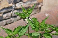 Καταπιείτε την πεταλούδα ουρών Στοκ εικόνα με δικαίωμα ελεύθερης χρήσης