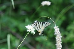 Καταπιείτε την πεταλούδα ουρών Στοκ φωτογραφίες με δικαίωμα ελεύθερης χρήσης