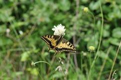 Καταπιείτε την πεταλούδα ουρών Στοκ φωτογραφία με δικαίωμα ελεύθερης χρήσης