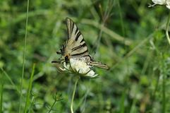 Καταπιείτε την πεταλούδα ουρών Στοκ Εικόνες