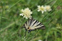 Καταπιείτε την πεταλούδα ουρών Στοκ Φωτογραφία