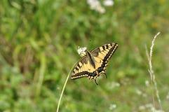 Καταπιείτε την πεταλούδα ουρών Στοκ εικόνες με δικαίωμα ελεύθερης χρήσης