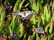 Καταπιείτε την πεταλούδα ουρών Στοκ Εικόνα