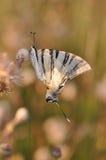 Καταπιείτε την πεταλούδα ουρών Στοκ Φωτογραφίες