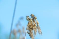 Καταπιείτε τη συνεδρίαση στον κάλαμο στο δέλτα Δούναβη, Ρουμανία Στοκ φωτογραφία με δικαίωμα ελεύθερης χρήσης
