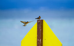 Καταπιείτε το ζεύγος πουλιών Στοκ εικόνες με δικαίωμα ελεύθερης χρήσης