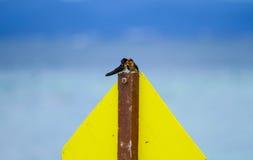Καταπιείτε το ζεύγος πουλιών Στοκ Εικόνες