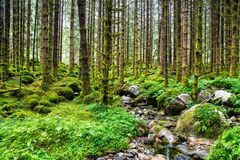 Καταπληκτική άποψη τοπίων φύσης δάσους βόρειων του Σκανδιναβικού πεύκων Στοκ φωτογραφία με δικαίωμα ελεύθερης χρήσης