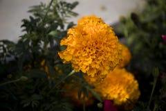 Καταπληκτική άποψη του ζωηρόχρωμου πορτοκαλιού λουλουδιού στοκ εικόνες με δικαίωμα ελεύθερης χρήσης