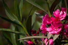 Καταπληκτική άποψη του ζωηρόχρωμου ρόδινου λουλουδιού στοκ φωτογραφίες