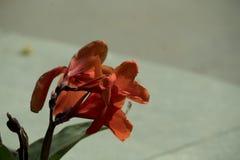 Καταπληκτική κινηματογράφηση σε πρώτο πλάνο του φωτεινού κόκκινου λουλουδιού πετάλων στοκ φωτογραφία με δικαίωμα ελεύθερης χρήσης