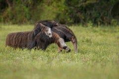 Καταπληκτικός γίγαντας anteater που περπατά στο βιότοπο φύσης Στοκ Εικόνες