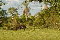 Καταπληκτικός γίγαντας anteater που περπατά στο βιότοπο φύσης στοκ φωτογραφίες
