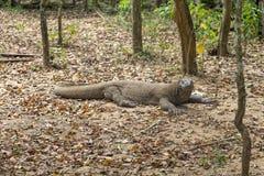 Καταπληκτικός δράκος Komodo στοκ φωτογραφία