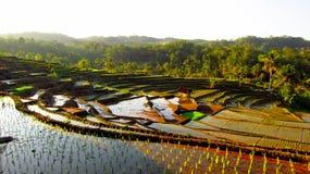 Καταπληκτικός τομέας ρυζιού πεζουλιών στοκ εικόνες
