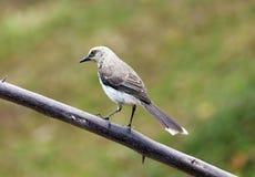 Καταπληκτικό γκρίζο πουλί που στέκεται σε έναν κλάδο δέντρων με το πράσινο υπόβαθρο, όμορφος αναφερόμενος στα πτηνά από τη Κόστα  στοκ εικόνες με δικαίωμα ελεύθερης χρήσης