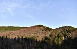 Καταπληκτικό δάσος πεύκων Στοκ Φωτογραφίες