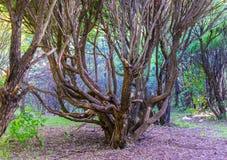 Καταπληκτικό δέντρο με τους στριμμένους κλάδους στο παλαιό δάσος στοκ φωτογραφία