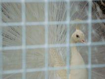 Καταπληκτικό θαυμάσιο άσπρο peacock σε ένα κλουβί Κινηματογράφηση σε πρώτο πλάνο στοκ φωτογραφία