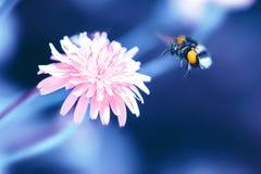 Καταπληκτικό καλλιτεχνικό φυσικό υπόβαθρο Bumblebee που πετά πέρα από το fanta στοκ εικόνα με δικαίωμα ελεύθερης χρήσης