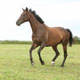 Καταπληκτικό καφετί άλογο που τρέχει μόνο Στοκ εικόνα με δικαίωμα ελεύθερης χρήσης