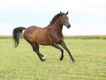 Καταπληκτικό καφετί άλογο που τρέχει μόνο Στοκ φωτογραφία με δικαίωμα ελεύθερης χρήσης