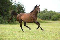 Καταπληκτικό καφετί άλογο που τρέχει μόνο Στοκ Φωτογραφίες