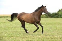 Καταπληκτικό καφετί άλογο που τρέχει μόνο Στοκ Φωτογραφία