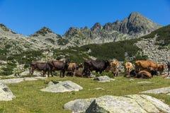 Καταπληκτικό τοπίο με την αιχμή Dzhangal και αγελάδες στα πράσινα λιβάδια, βουνό Pirin Στοκ εικόνες με δικαίωμα ελεύθερης χρήσης