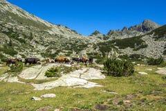 Καταπληκτικό τοπίο με την αιχμή Dzhangal και αγελάδες στα πράσινα λιβάδια, βουνό Pirin Στοκ φωτογραφία με δικαίωμα ελεύθερης χρήσης